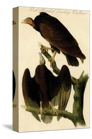 Red Headed Turkey Vulture