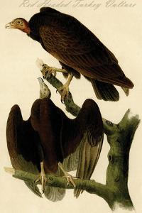 Red Headed Turkey Vulture by John James Audubon