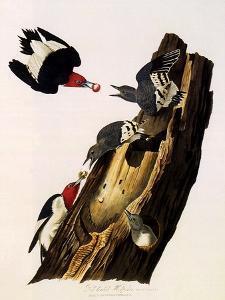 Red-Headed Woodpecker, Melanerpes Erythrocephalus by John James Audubon