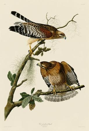 Red-Shouldered Hawk by John James Audubon