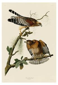 Red-Shouldered Hawk by John James Audubon