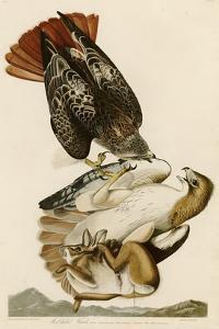 Red-Tailed Hawk by John James Audubon