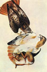 Red Tailed Hawk by John James Audubon