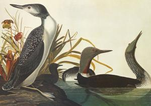 Red-Throated Diver by John James Audubon