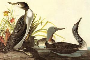 Red-Throated Loon by John James Audubon