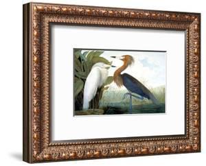 Reddish Egret, by John James Audubon