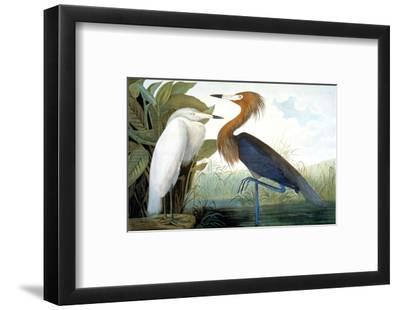 Reddish Egret,