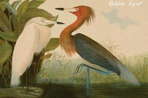 Reddish Egret by John James Audubon