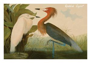 Reddish Egret by John James Audubon