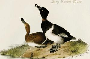 Ring Necked Duck by John James Audubon