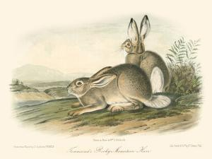 Rocky Mountain Hare by John James Audubon