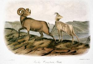 Rocky Mountain Sheep, 1846 by John James Audubon