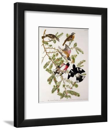 "Rose-Breasted Grosbeak from ""Birds of America"""