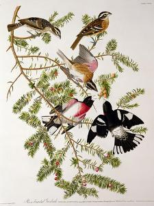 "Rose-Breasted Grosbeak from ""Birds of America"" by John James Audubon"