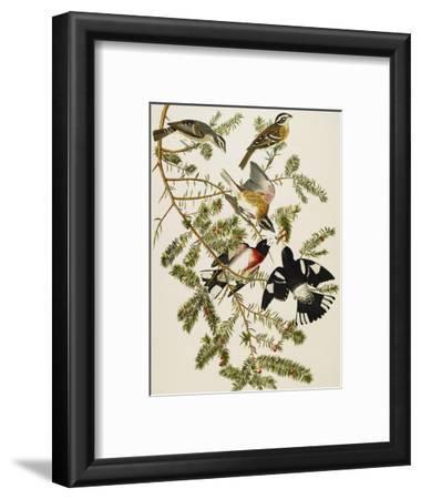 Rose-Breasted Grosbeak (Pheuticus Ludovicianus), Plate Cxxvii, from 'The Birds of America'