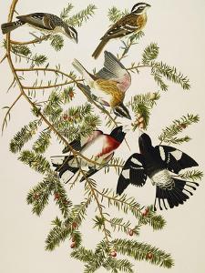 Rose-Breasted Grosbeak (Pheuticus Ludovicianus), Plate Cxxvii, from 'The Birds of America' by John James Audubon