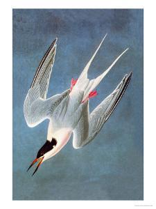 Roseate Fern by John James Audubon