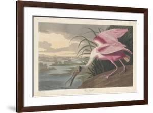 Roseate Spoonbill, 1836 by John James Audubon
