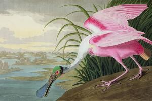 Roseate Spoonbill, Platalea Leucorodia, from 'The Birds of America', 1836 by John James Audubon