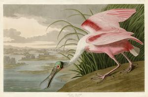 Roseate Spoonbill by John James Audubon