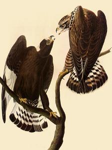 Rough-Legged Hawks by John James Audubon