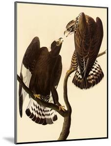 Rough-Legged Hawks by John James Audubon