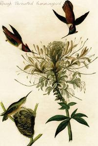 Rough Throated Hummingbird by John James Audubon
