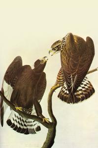 Roughlegged Hawk by John James Audubon