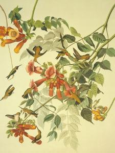 Ruby-Throated Hummingbird by John James Audubon