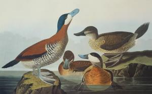 Ruddy Duck by John James Audubon