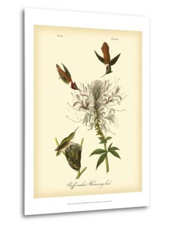 Ruff-neck Hummingbird