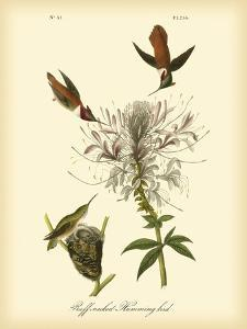 Ruff-neck Hummingbird by John James Audubon