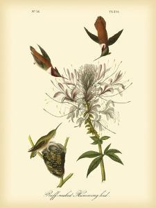 Ruff-neck Hummingbird by John James Audubon