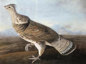 Ruffed Goose, Circa 1812 by John James Audubon