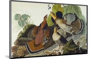 Ruffed Grouse (Tetrao Umbellus), Plate Xli, from 'The Birds of America' by John James Audubon