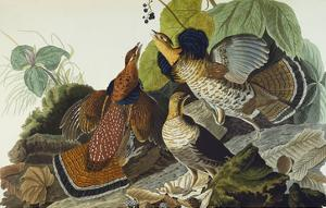 Ruffed Grouse (Tetrao Umbellus), Plate Xli, from 'The Birds of America' by John James Audubon