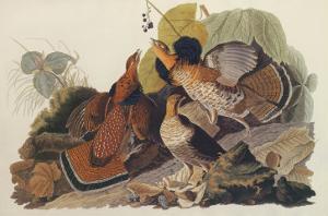 Ruffed Grouse by John James Audubon