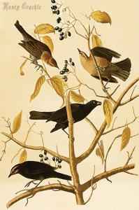 Rusty Grackle by John James Audubon