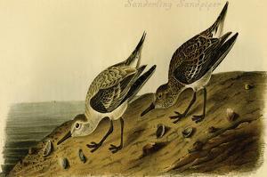 Sanderling Sandpiper by John James Audubon