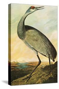 Sandhill Crane by John James Audubon