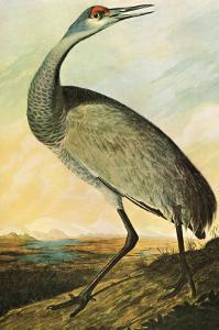 Sandhill Crane by John James Audubon