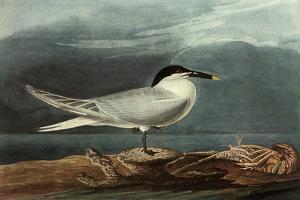 Sandwich Tern by John James Audubon