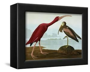 Scarlet Ibis (Eudocimus Ruber), Plate Cccxcvii, from 'The Birds of America' by John James Audubon