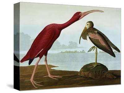 Scarlet Ibis (Eudocimus Ruber), Plate Cccxcvii, from 'The Birds of America'