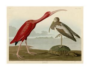 Scarlet Ibis by John James Audubon