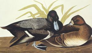 Scaup Duck by John James Audubon