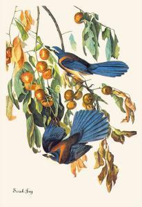 Scrub Jay by John James Audubon