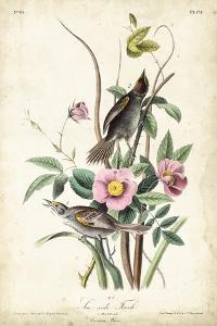 Seaside Finch by John James Audubon
