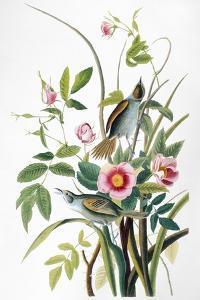 Seaside Sparrow, 1858 by John James Audubon