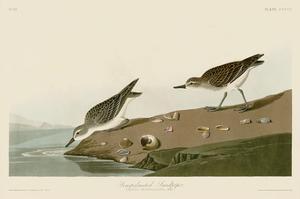 Semipalmated Sandpiper by John James Audubon